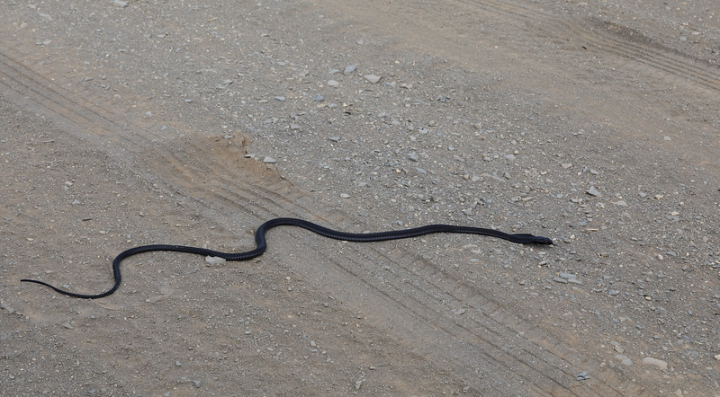 Black Spitting Cobra crossing a dirt road