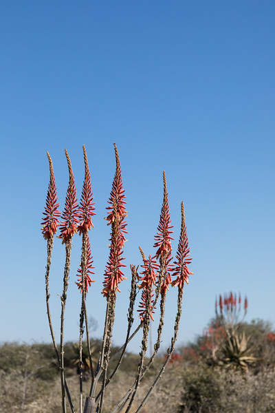 Aloe Littoralis flowers