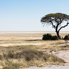 A lone Acacia tree in the vast Etosha Nacional Park