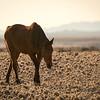 Namibia Horse