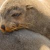 Namibia Sea Lion