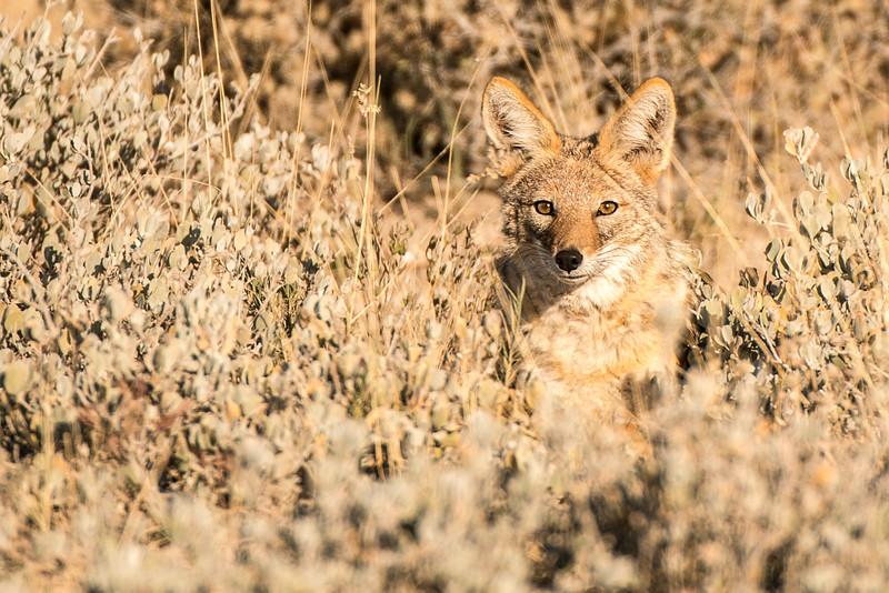 Namibia Jackel