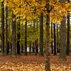 NC Trees