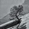 Zion; Tree; B&W