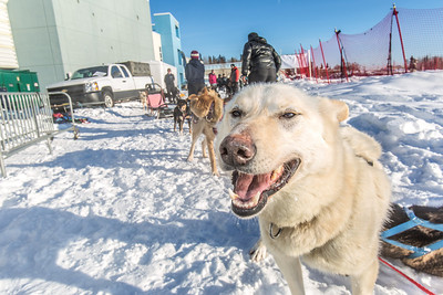 Sled dogs rest between runs during a mushing event in front of the SRC  Saturday, Feb. 22 as part of UAF's 2014 Winter Carnival.  Filename: LIF-14-4089-20.jpg