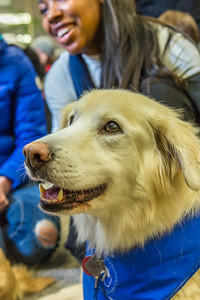 Alexandria Charles, a junior biology major from California, spends some quality time with Yukon the golden retriever on Dogs in the Library day. The event is offered during finals week to provide students with a bit of stress relief.  Filename: LIF-13-4023-80.jpg