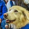 """Alexandria Charles, a junior biology major from California, spends some quality time with Yukon the golden retriever on Dogs in the Library day. The event is offered during finals week to provide students with a bit of stress relief.  <div class=""""ss-paypal-button"""">Filename: LIF-13-4023-80.jpg</div><div class=""""ss-paypal-button-end"""" style=""""""""></div>"""