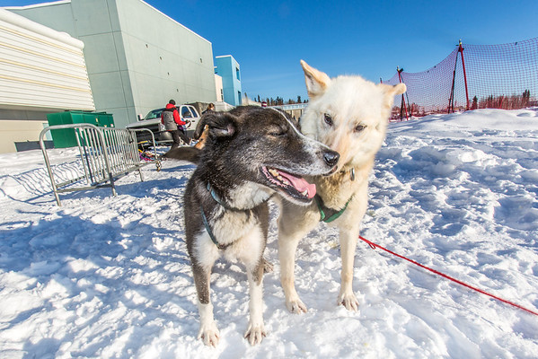"""Sled dogs rest between runs during a mushing event in front of the SRC  Saturday, Feb. 22 as part of UAF's 2014 Winter Carnival.  <div class=""""ss-paypal-button"""">Filename: LIF-14-4089-29.jpg</div><div class=""""ss-paypal-button-end"""" style=""""""""></div>"""