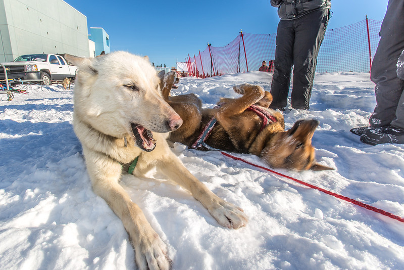 """Sled dogs rest between runs during a mushing event in front of the SRC  Saturday, Feb. 22 as part of UAF's 2014 Winter Carnival.  <div class=""""ss-paypal-button"""">Filename: LIF-14-4089-14.jpg</div><div class=""""ss-paypal-button-end"""" style=""""""""></div>"""