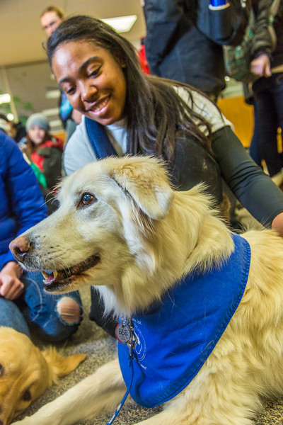 """Alexandria Charles, a junior biology major from California, spends some quality time with Yukon the golden retriever on Dogs in the Library day. The event is offered during finals week to provide students with a bit of stress relief.  <div class=""""ss-paypal-button"""">Filename: LIF-13-4023-82.jpg</div><div class=""""ss-paypal-button-end""""></div>"""