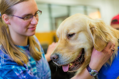 Freshman math major Erika Blanchard takes advantage of some quality time with Eric the golden retriever during Dogs in the Library day. The event is offered during finals week to provide students with a bit of stress relief.  Filename: LIF-13-4023-28.jpg