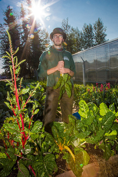 """Alexander Bergman harvests vegetables from a garden maintained by students on the UAF Sustainable Task Force on an August morning.  <div class=""""ss-paypal-button"""">Filename: LIF-12-3487-33.jpg</div><div class=""""ss-paypal-button-end"""" style=""""""""></div>"""