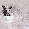 Moose Cow in Snow