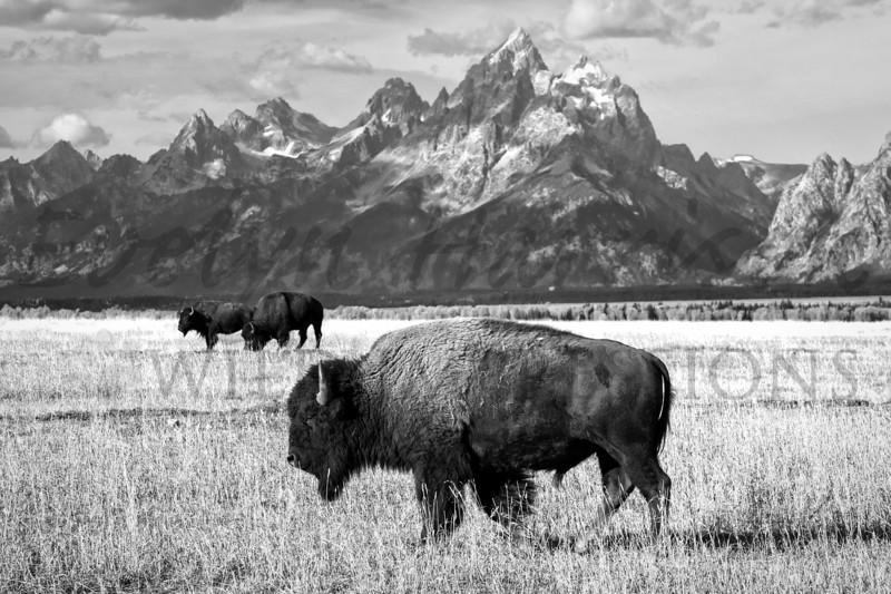 B&W Bison and Grand Teton