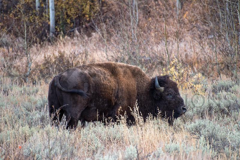 Bison on the Edge of Sagebrush Flats