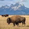 Bison and Grand Teton