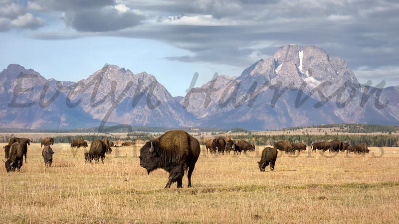 Bison Herd and Mount Moran