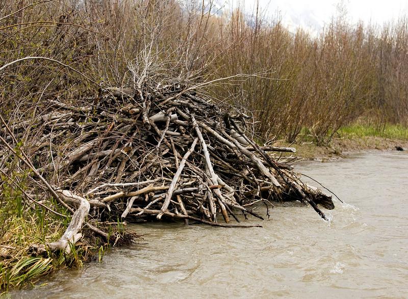 Beaver dam - Snake River - Grand Teton