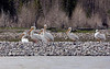 White pelicans along the Snake River - Grand Teton