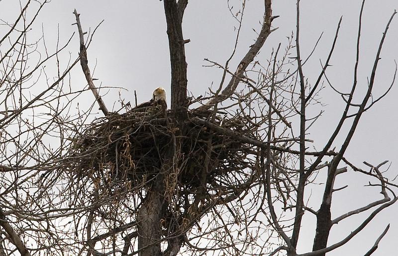 Eagle in nest along the Snake River - Grand Teton