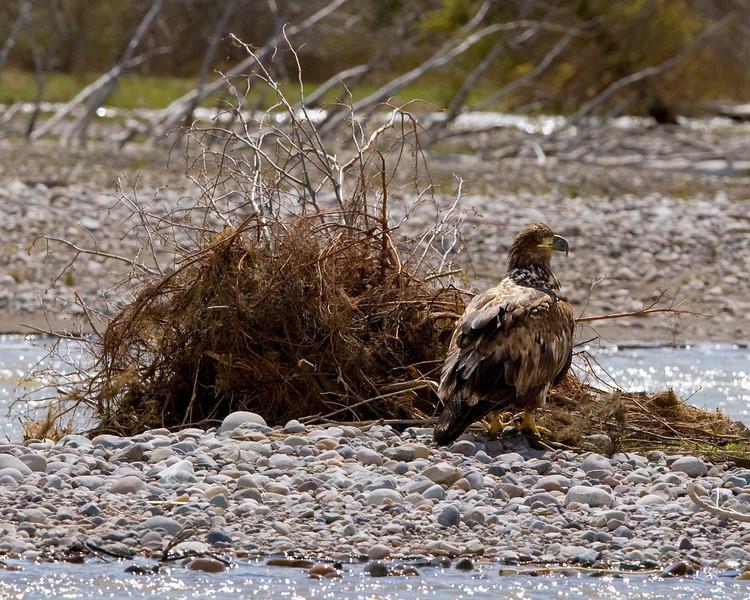 Immature bald eagle along the Snake River - Grand Teton