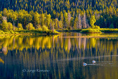 Snake River reflexions with two White Pelicans in Grand Teton National Park.