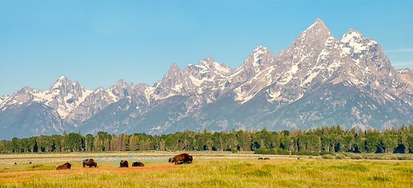 Bison herd and The Grand Teton Mountains panorama with blue sky, Grand Teton National Park