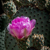Prickly Pear Cactus Bloom