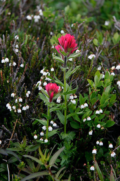 Magenta Paintbrush and White Mountain Heather