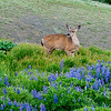 Black Tail Deer