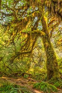 Hoh Rain Forest, Washington.