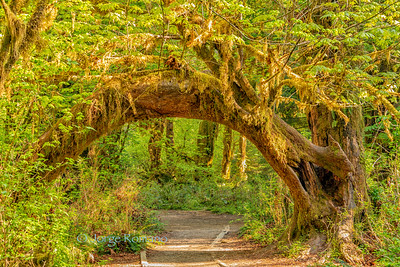 Path in the Hoh Rain Forest