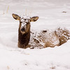 Elk Cow in Snow