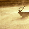 Bull Elk at Dawn