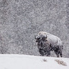 Bison In Snow