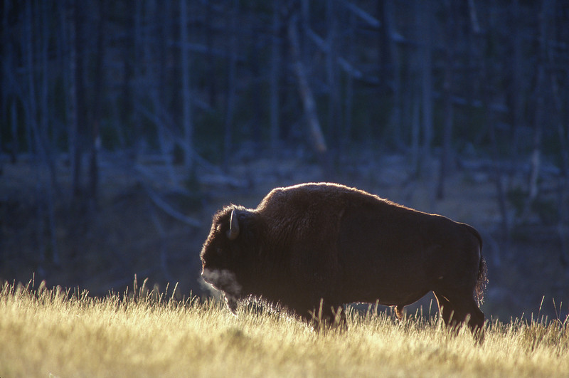 Bison at Dawn