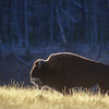 Bison at Dawn