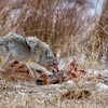 Coyote on Elk Carcass