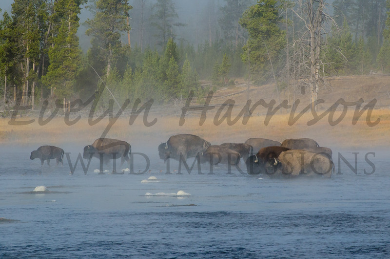 Bison Herd crossing the Firehole River