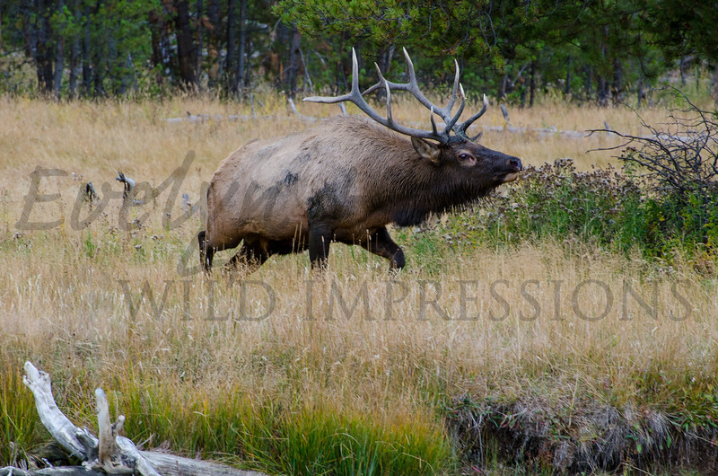 Elk in Madison Valley, Yellowstone National Park