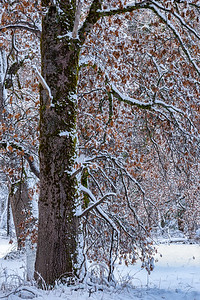 Black Oak trees covered with snow right after a storm, Yosemite National Park