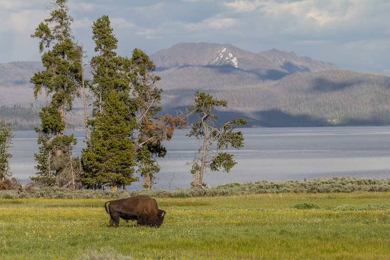 American Bison (Buffalo) in Yellowstone National Park, Wyoming, USA