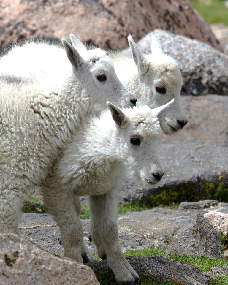 Three Mountain Goat Babies