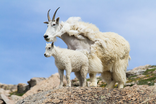 Molting Mountain Goat with Offsping