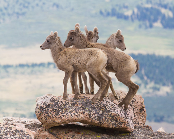Young Bighorn Sheep Togetherness
