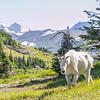 Mountain Goat Nanny