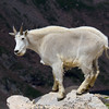 A Mountain Goat Finished with Molting