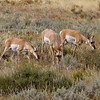 Grazing Antelopes