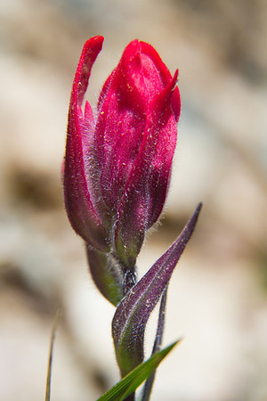 Close-up of red indian paintbrush