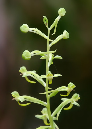 toothed rein orchid
